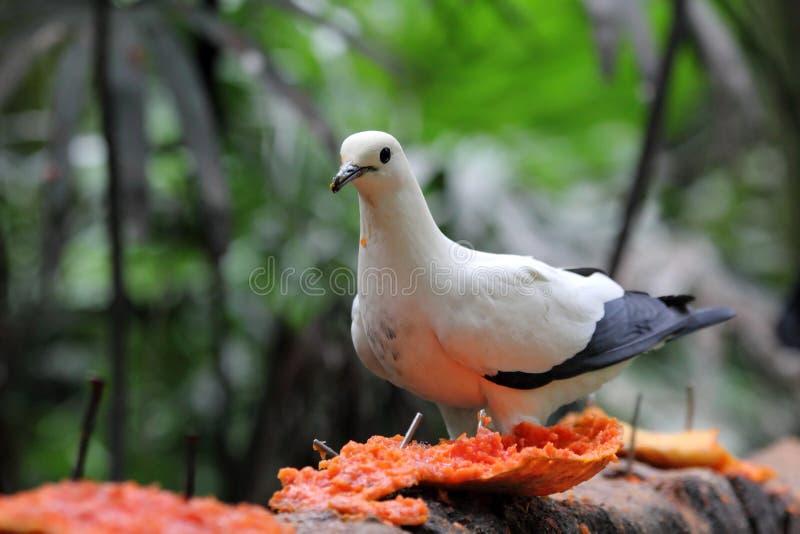 Pájaro/paloma que come la papaya imagenes de archivo