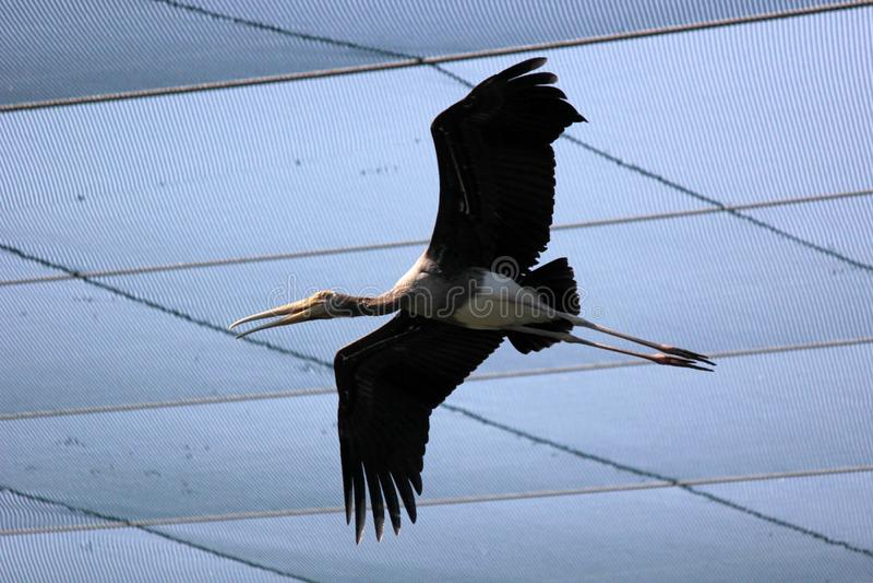 Pájaro pintado de la cigüeña que vuela en el parque zoológico foto de archivo libre de regalías