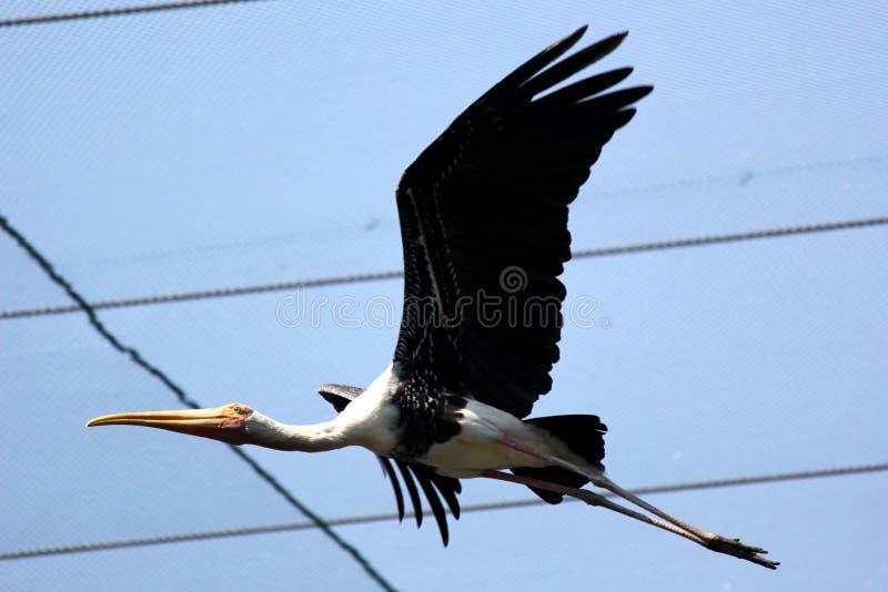 Pájaro pintado de la cigüeña que vuela en el parque zoológico fotografía de archivo libre de regalías