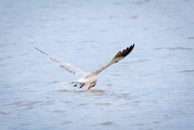 Pájaro que coge un pescado fotografía de archivo libre de regalías