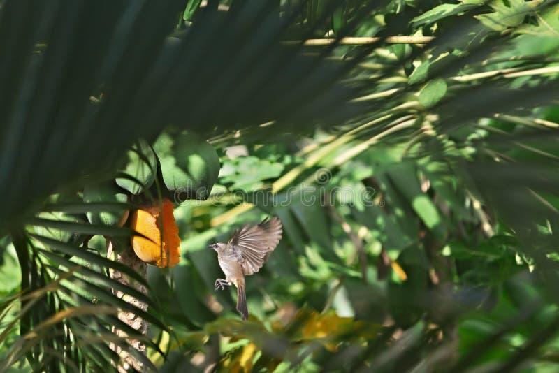 Pájaro que come la papaya foto de archivo libre de regalías