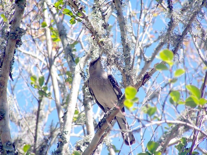 Pájaro que imita en un miembro de árbol imagen de archivo