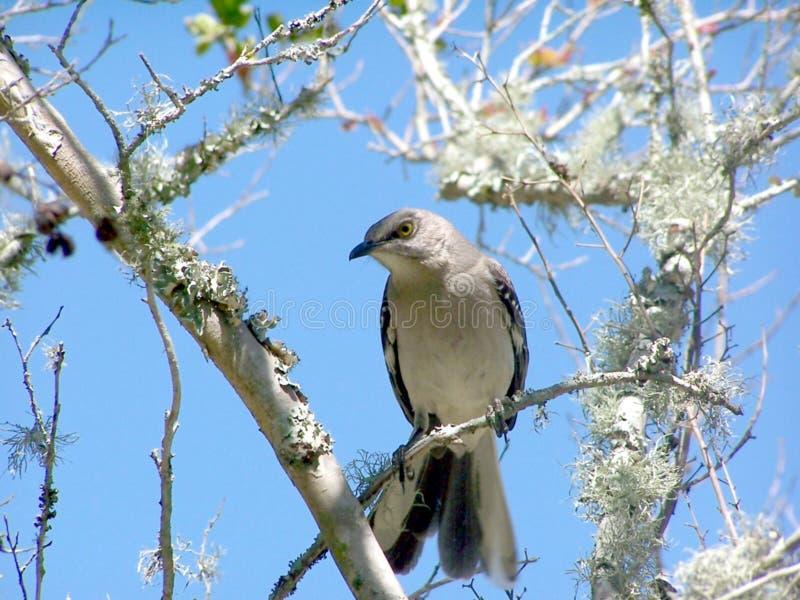 Pájaro que imita en un miembro de árbol fotos de archivo