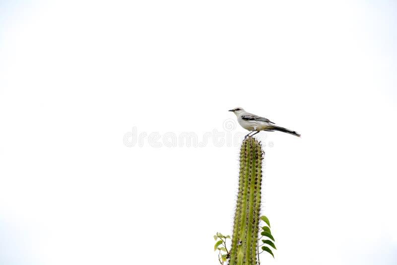 Pájaro que se coloca en un cactus fotos de archivo