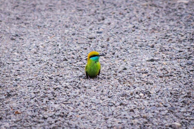 Pájaro que se sienta en una tierra de la grava imágenes de archivo libres de regalías