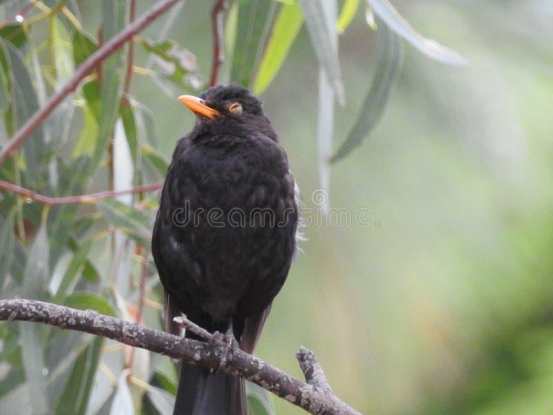 Pájaro que tiene un resto en un gumtree imagen de archivo libre de regalías