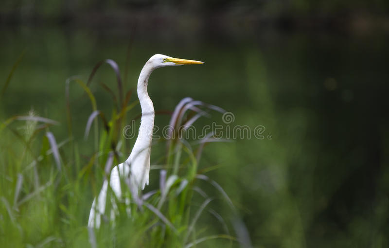 Pájaro que vadea de la gran garceta blanca foto de archivo