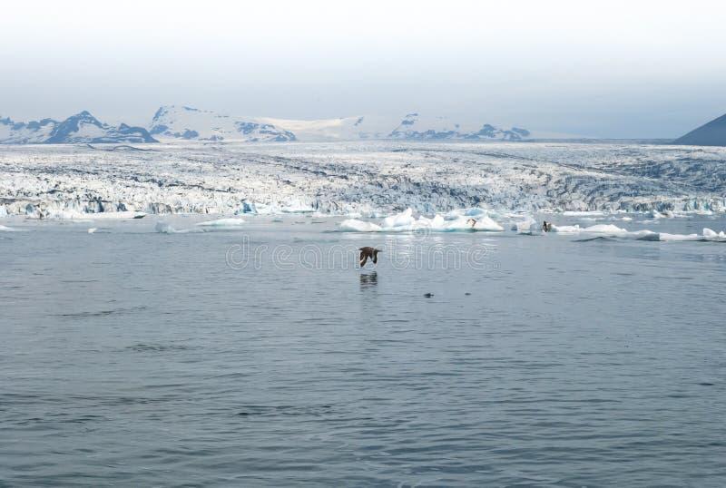 Pájaro que vuela encima en el medio de laguna hermosa del glaciar foto de archivo
