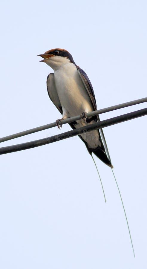 Pájaro rápido de la casa imagenes de archivo