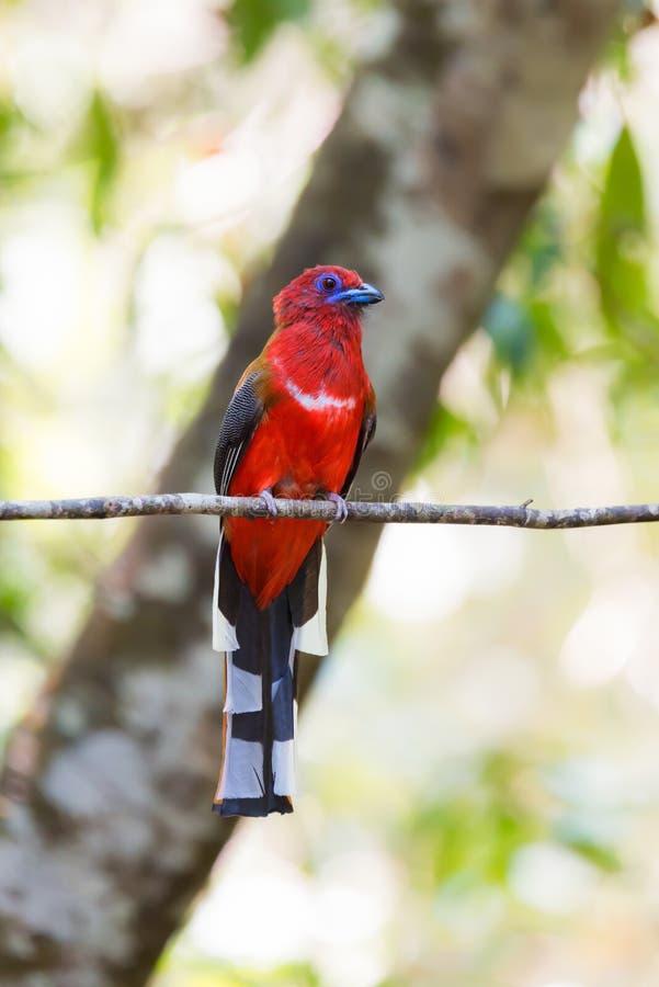 Pájaro rojo con la cola blanco y negro de la barra que se encarama en rama foto de archivo