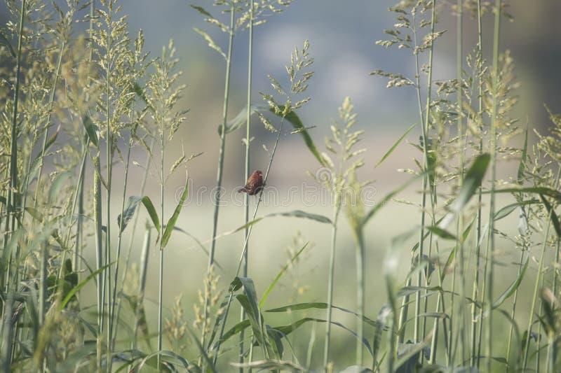 Pájaro rojo de Munia en un campo de la cosecha foto de archivo libre de regalías