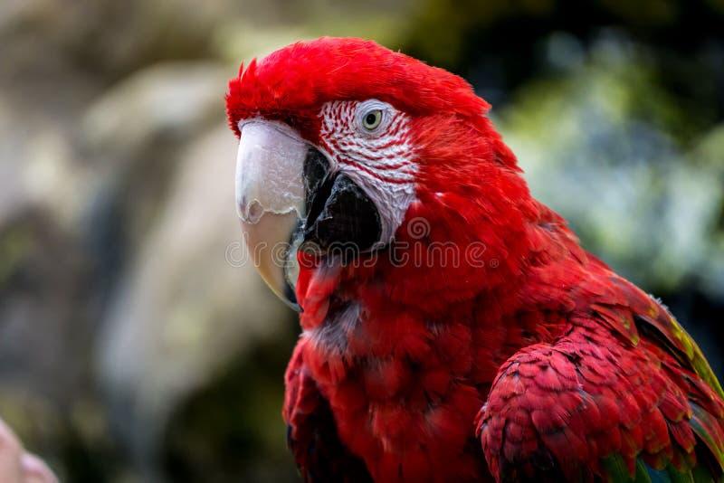Pájaro rojo del macaw con el bokeh imagen de archivo libre de regalías