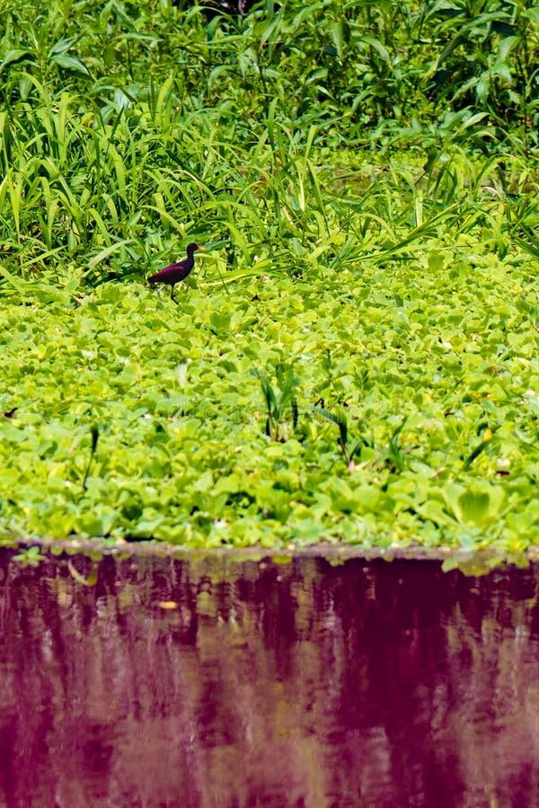 Pájaro rojo en Waterplants que flota en el agua roja en el Amazonas, cerca de Iquitos, Loreto, Perú fotografía de archivo