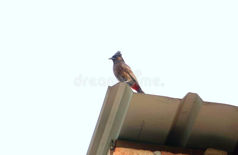 Pájaro Rojo-expresado del Bulbul de Asia imagen de archivo libre de regalías