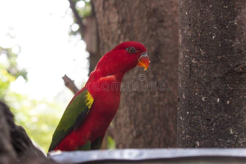 Pájaro rojo hermoso del loro imagen de archivo
