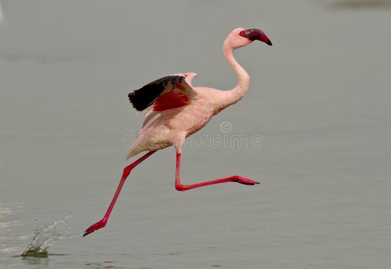 Pájaro rosado del flamenco fotos de archivo libres de regalías