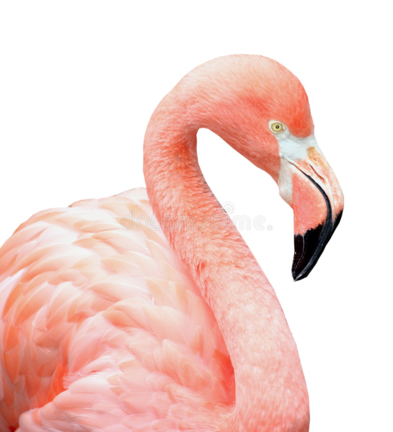 Pájaro rosado del flamenco imágenes de archivo libres de regalías