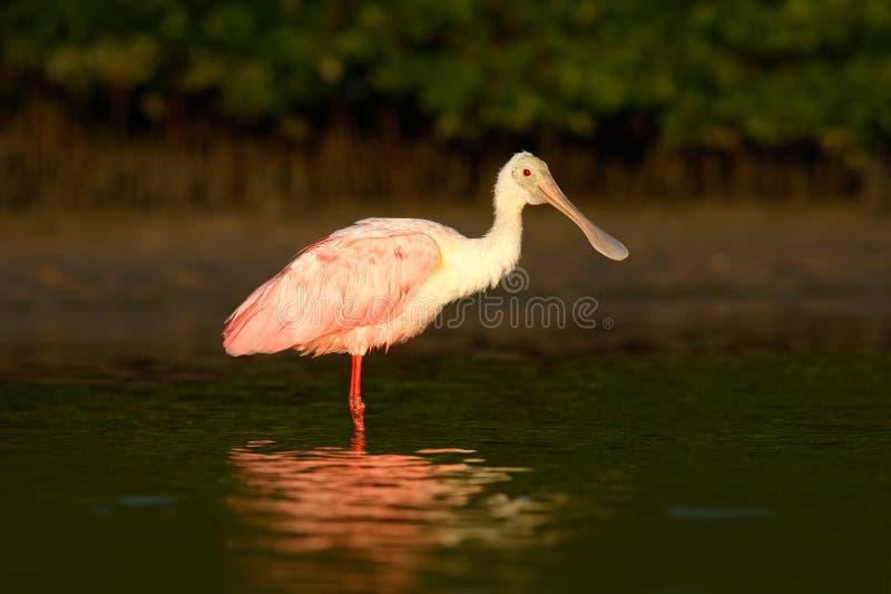 Pájaro rosado del spoonbill Salida del sol hermosa con el pájaro, ajaja del Platalea, Spoonbill rosado, en la luz de la parte pos fotografía de archivo libre de regalías