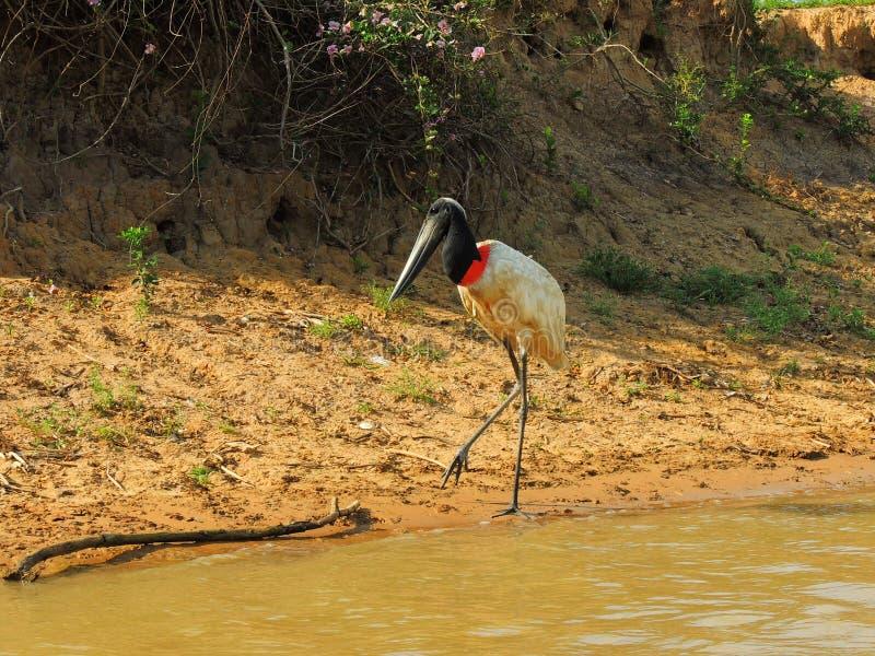 Pájaro-símbolo de la región pantanosa brasileña imágenes de archivo libres de regalías