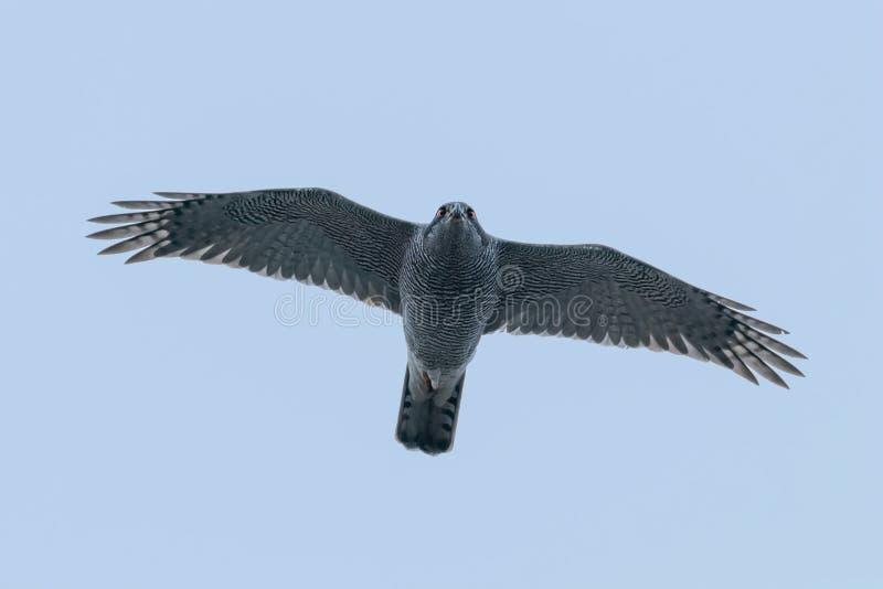 Pájaro septentrional de los gentilis del Accipiter del vuelo del azor de la fauna de la presa foto de archivo libre de regalías