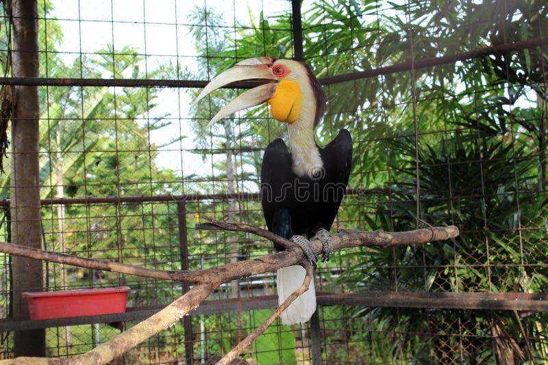 Pájaro tropical del Hornbill de Indonesia fotos de archivo