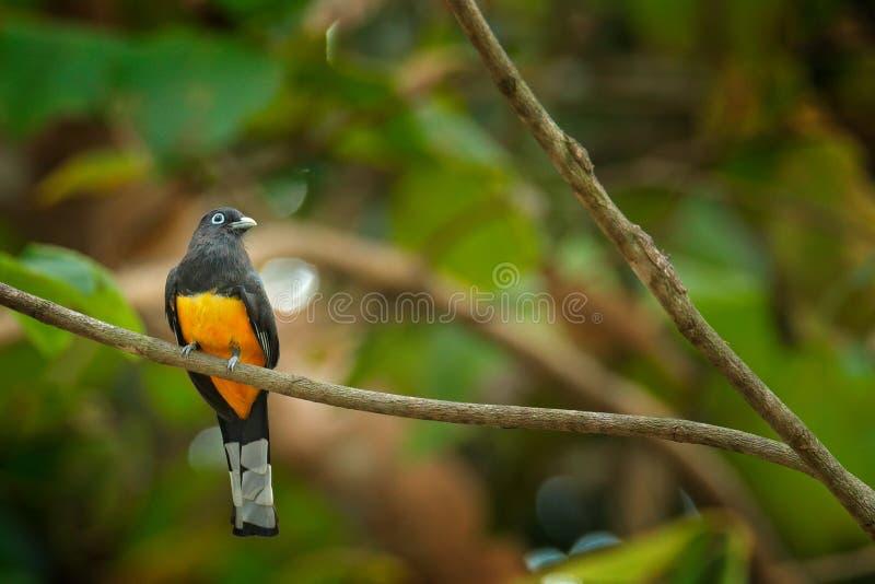 Pájaro tropical exótico trogon, del melanocephalus de Trogon, amarillo y azul marino de cabeza negra que se sienta en la rama fin fotografía de archivo libre de regalías