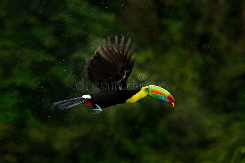Pájaro tropical que vuela durante la lluvia fuerte tucán Quilla-cargado en cuenta, sulfuratus de Ramphastos, pájaro con la mosca  foto de archivo