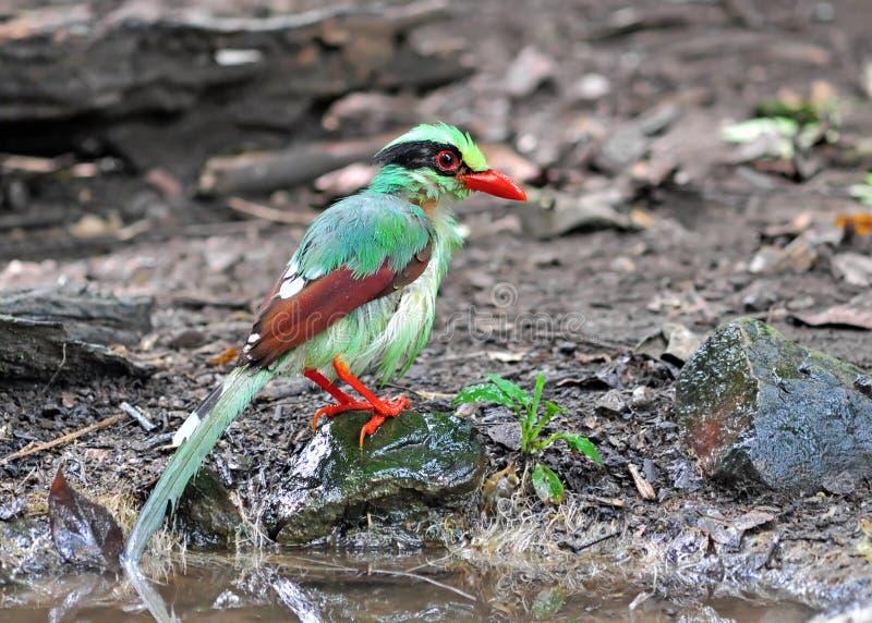 Pájaro verde común de la urraca fotografía de archivo