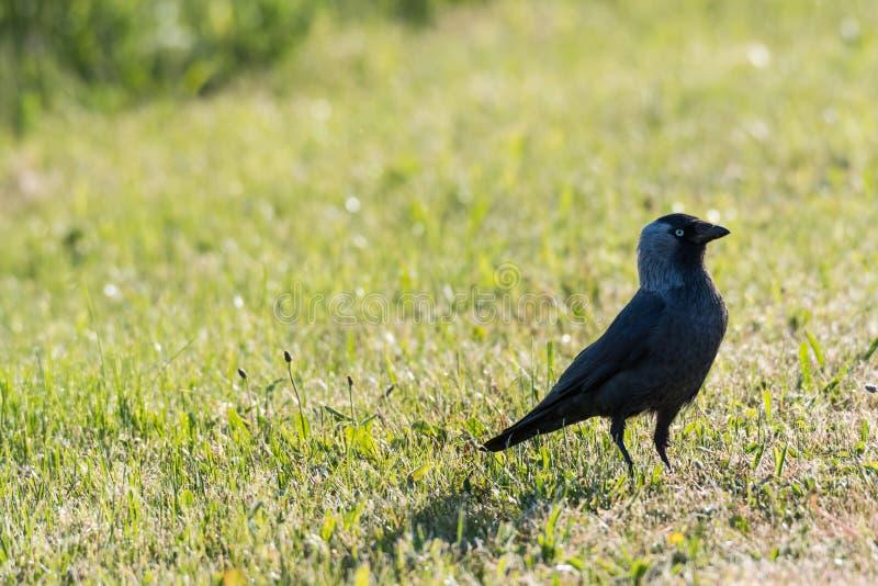 Pájaro vigilante del grajo imagenes de archivo