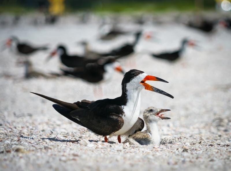 Pájaro y bebé Chick Nesting de la desnatadora en la playa fotografía de archivo