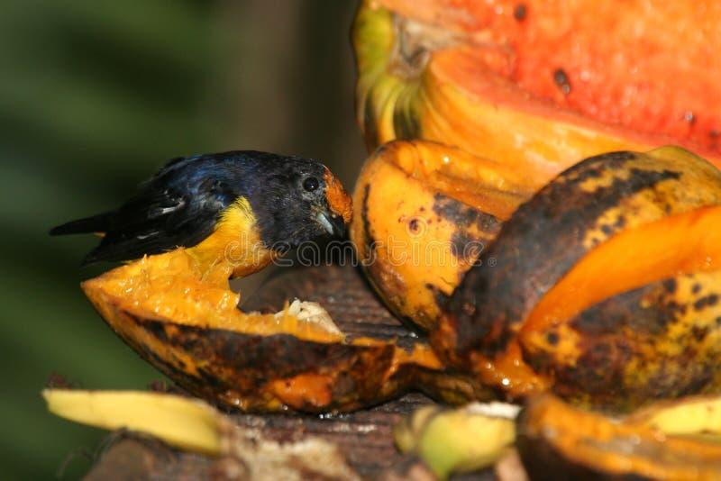 Pájaro y papaya negros fotografía de archivo