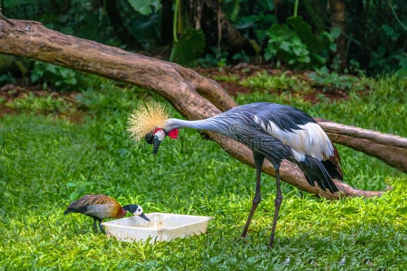 Pájaro y pato de Gray Crowned Crane que comen en Parque das Aves - Foz hace Iguacu, Paraná, el Brasil fotografía de archivo