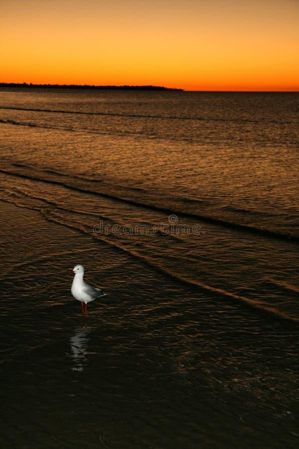 Pájaro y puesta del sol - isla de Fraser, la UNESCO, Australia fotos de archivo libres de regalías