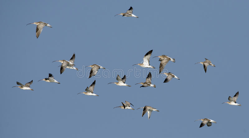 Pájaro, zarapito del eurasiático de los pájaros de la migración fotos de archivo libres de regalías