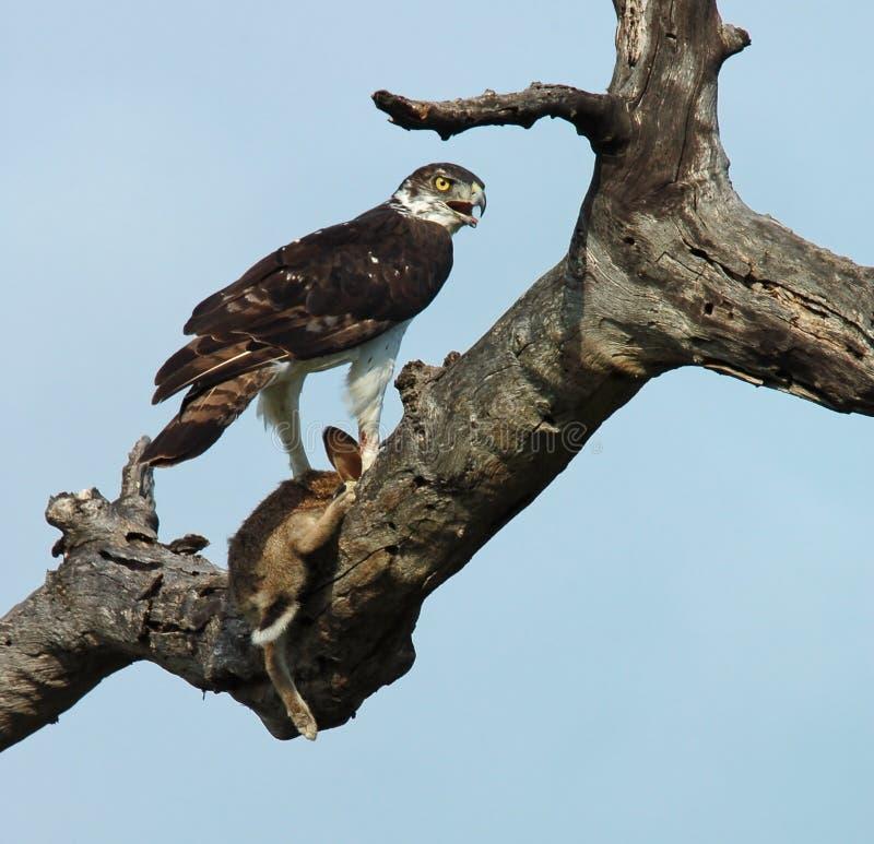 Pájaros africanos: Águila marcial fotografía de archivo