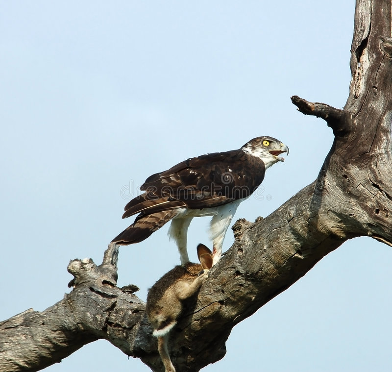 Pájaros africanos: Águila marcial fotos de archivo