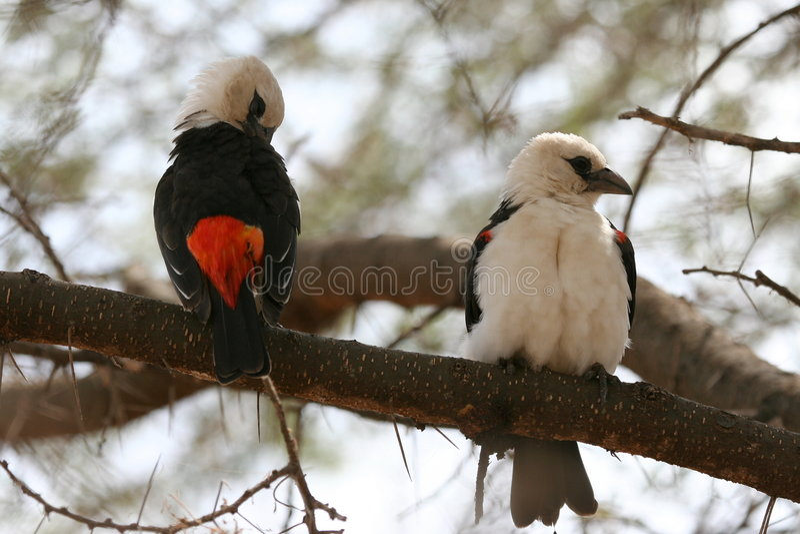 Pájaros africanos foto de archivo libre de regalías