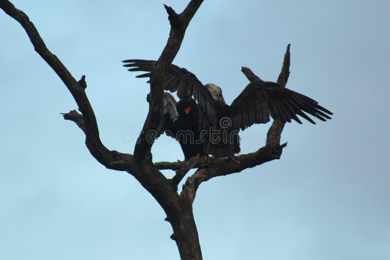 Pájaros africanos - buitres - parque nacional de Kruger foto de archivo libre de regalías