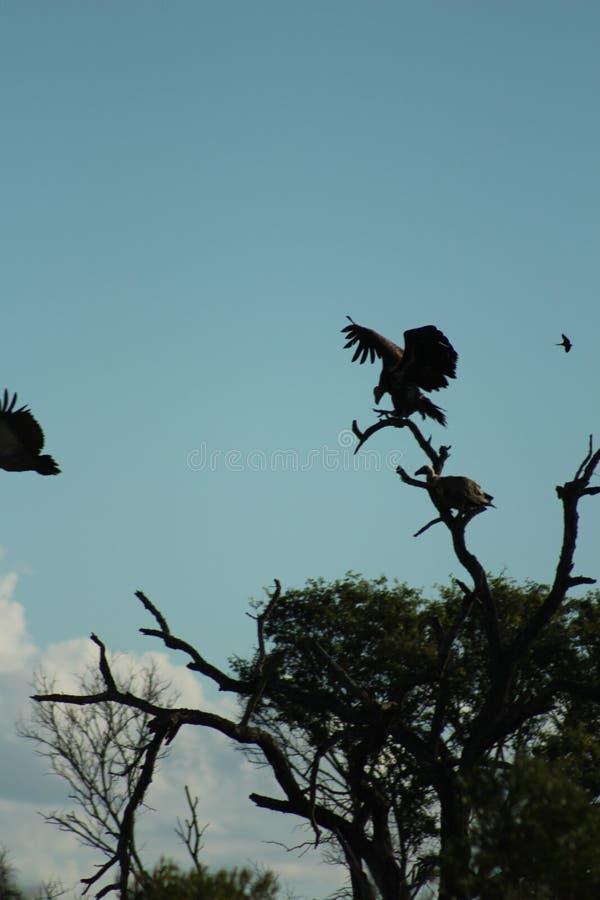 Pájaros africanos - buitres - parque nacional de Kruger imagenes de archivo
