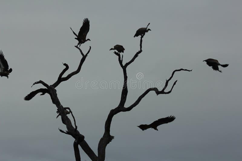 Pájaros africanos - buitres - parque nacional de Kruger fotos de archivo libres de regalías