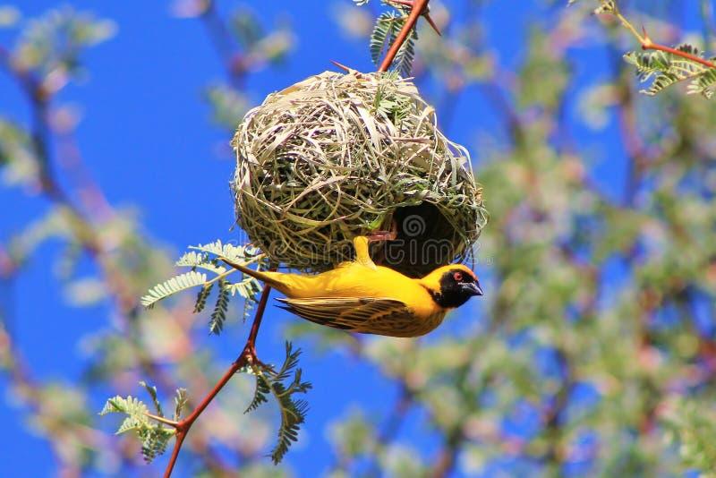 Pájaros africanos, tejedor amarillo, social en el trabajo 2 fotografía de archivo