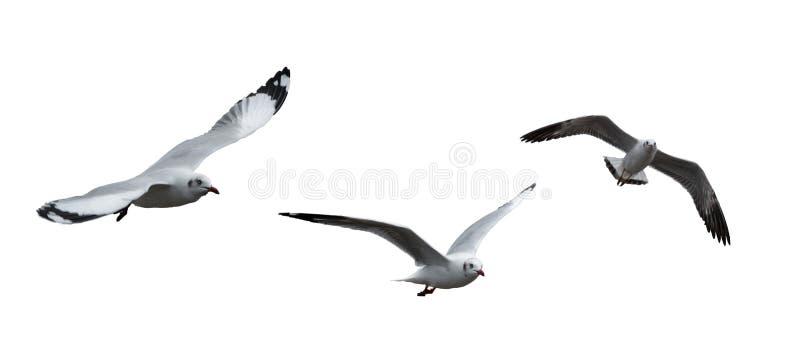 Pájaros aislados de la gaviota fotos de archivo