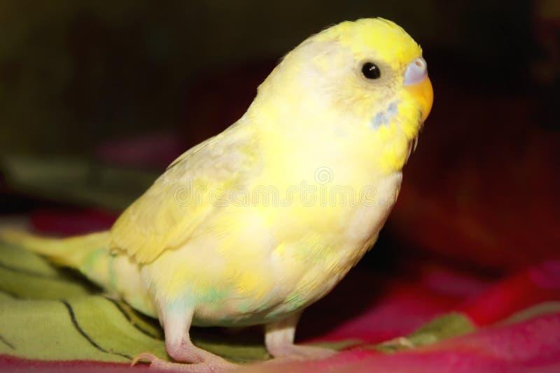 Pájaros amarillos hermosos del amor imagen de archivo