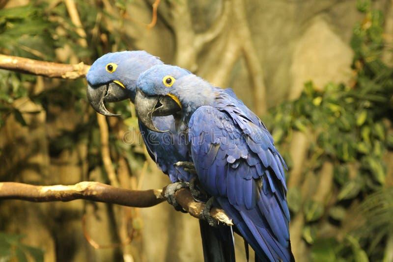 Pájaros azules imagen de archivo libre de regalías