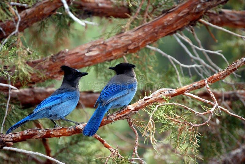 Pájaros azules imagen de archivo