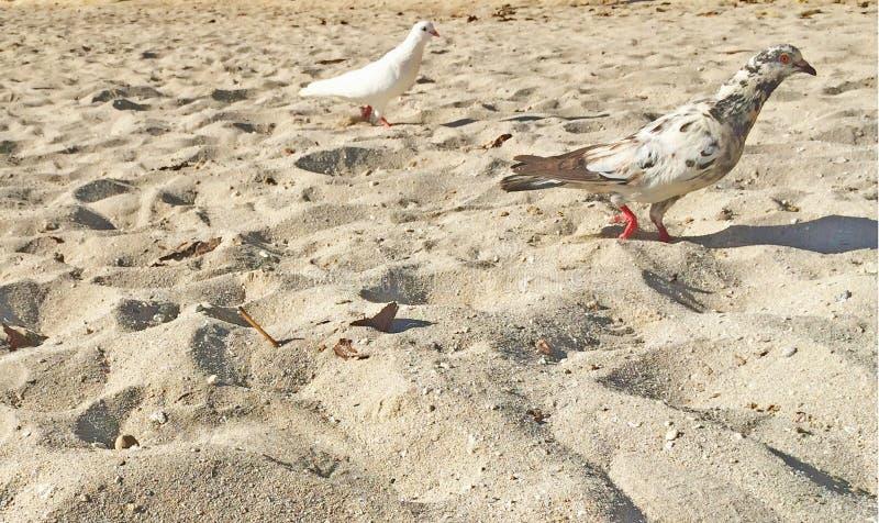 Pájaros blancos y manchados de la playa en las palomas de la arena en paraíso fotos de archivo