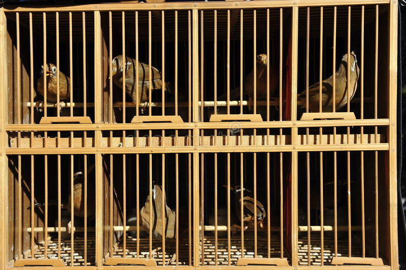 Pájaros cantantes en jaulas fotografía de archivo