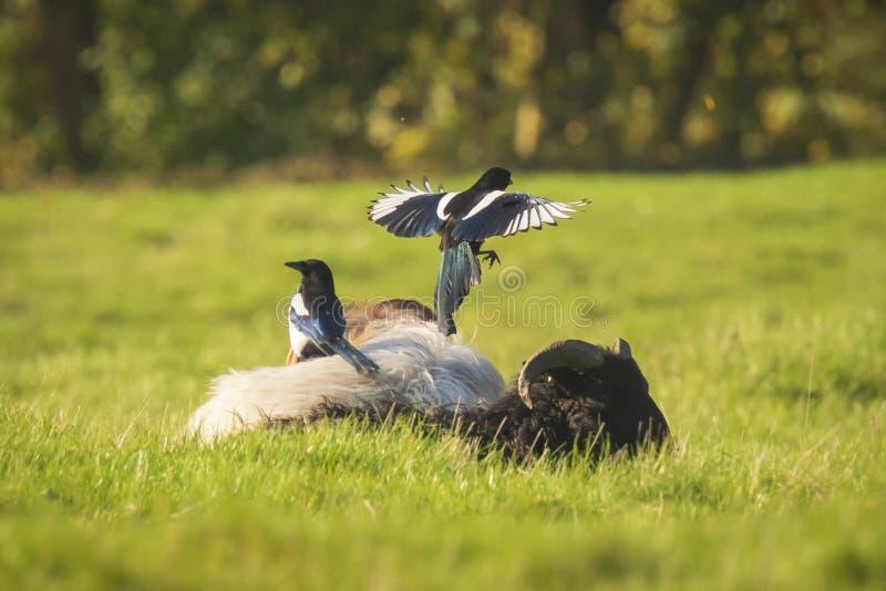 Pájaros comunes de la urraca, pica de la pica, jugando en la reclinación y ovejas el dormir fotografía de archivo