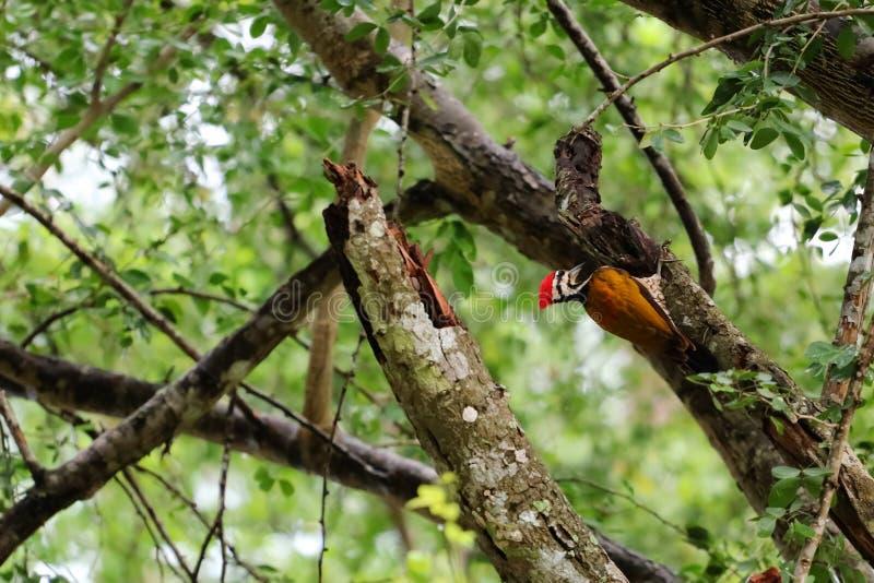 Pájaros comunes del flameback en el árbol en la selva tropical imagen de archivo