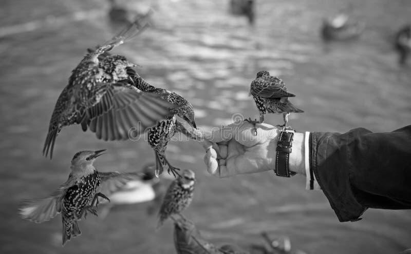 Pájaros de alimentación de la mano imagen de archivo libre de regalías